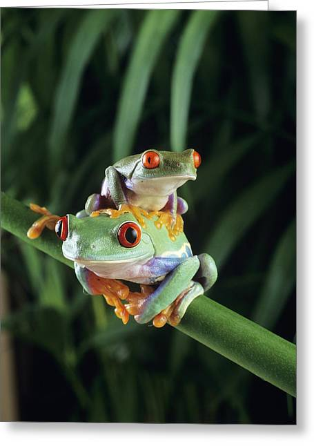 Red-eyed Tree Frogs Greeting Card