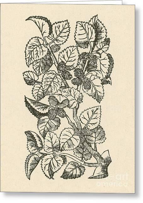 Red Mulberry Greeting Card by Science Source