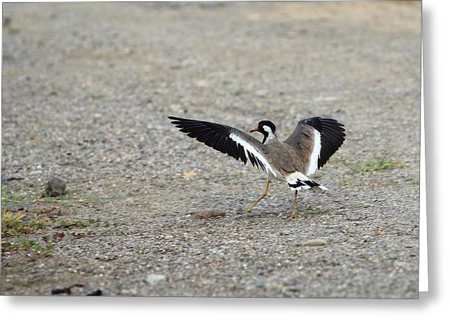 Red Wattled Lapwing Greeting Card