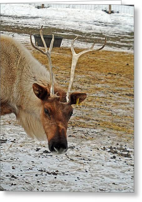 Reindeer Games Greeting Card by Cyryn Fyrcyd