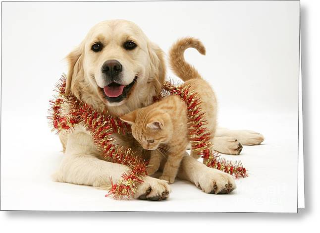 Retriever And Kitten Greeting Card by Jane Burton