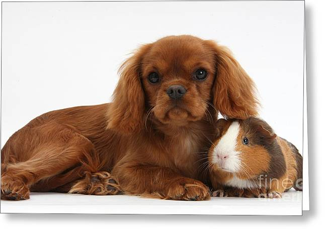 Ruby Cavalier King Charles Spaniel Pup Greeting Card by Mark Taylor