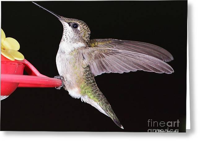 Ruby Throated Hummingbird Greeting Card by Steve Javorsky