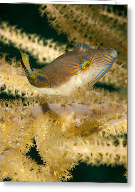Puffer Acrobatics Greeting Card by Jean Noren