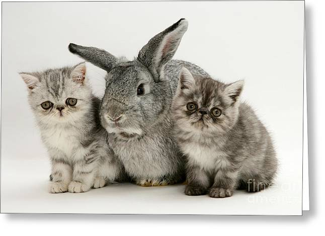 Silver Exotic Kittens And Silver Lop Greeting Card