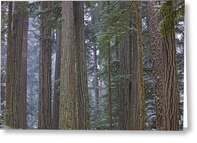 Snow Covered Trees In Cathedral Grove Greeting Card by Robert Postma