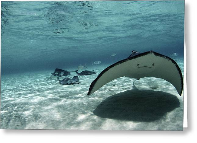 Southern Stingray Greeting Card by Georgette Douwma