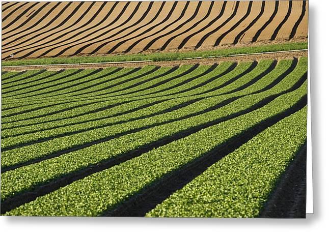 Spinach Crop Greeting Card by Adrian Bicker