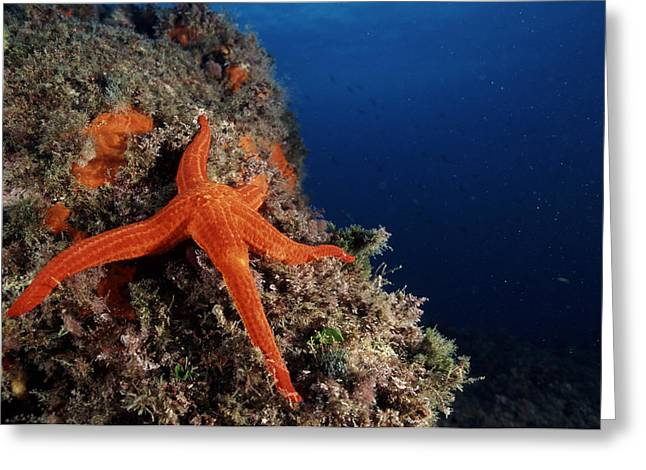 Starfish Greeting Card by Alexis Rosenfeld
