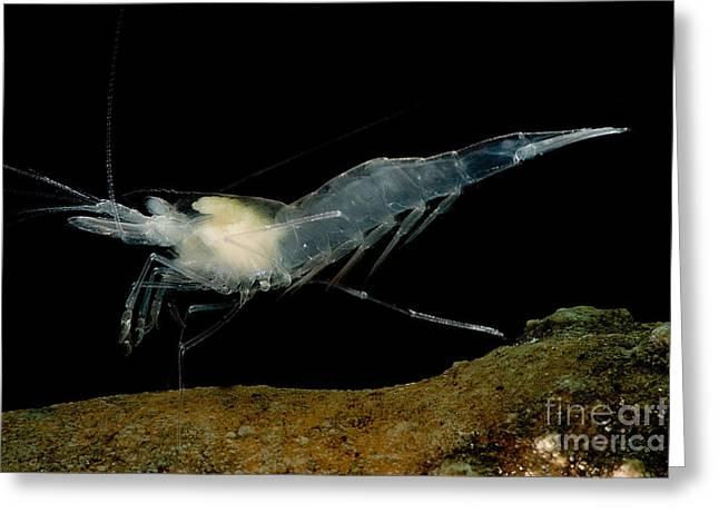 Texas Cave Shrimp Greeting Card by Dant� Fenolio