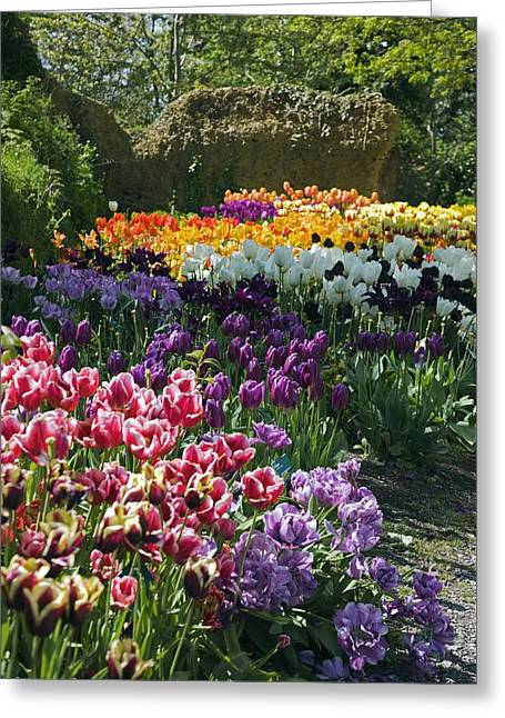 Tulip (tulipa Sp.) Borders Greeting Card by Dr Keith Wheeler