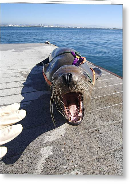 Us Navy California Sea Lion Greeting Card