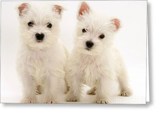 West Highland White Terriers Greeting Card by Jane Burton