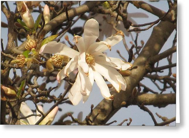 White Magnolias Greeting Card by Alfred Ng