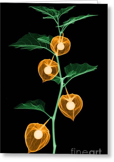 X-ray Of Chinese Lantern Plant Greeting Card by Ted Kinsman