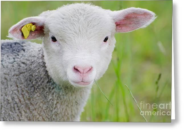 Young Sheep Greeting Card