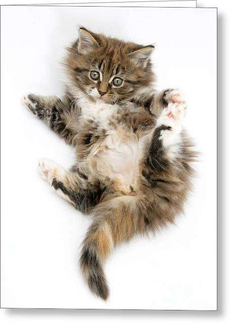 Maine Coon Kitten Greeting Card by Mark Taylor