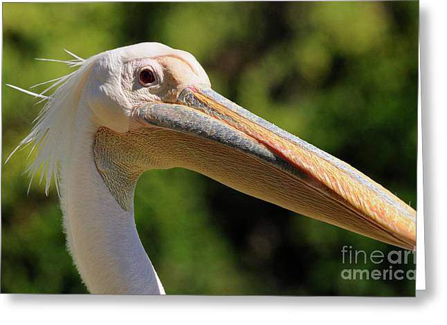 Pelican Greeting Card by Marc Bittan