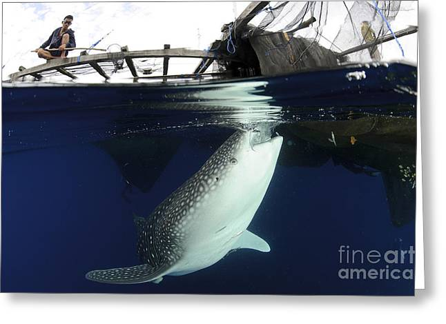 Whale Shark Feeding Under Fishing Greeting Card by Steve Jones