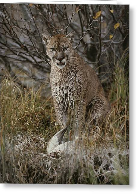 A Mountain Lion, Felis Concolor Greeting Card by Jim And Jamie Dutcher