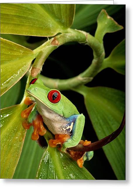 A Red-eyed Tree Frog Agalychnis Greeting Card by George Grall
