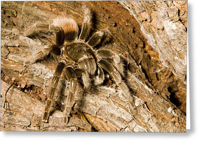 A Tarantula Living In Mangrove Forest Greeting Card