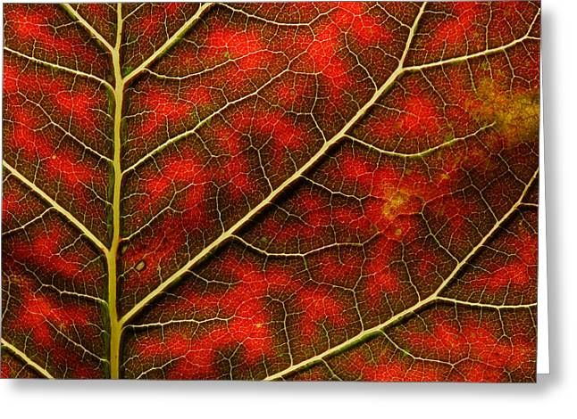 Backlit Close Up Of A Smoke Tree Leaf Greeting Card by Joe Petersburger