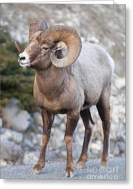 Bighorn Sheep Greeting Card by Ginevre Smith