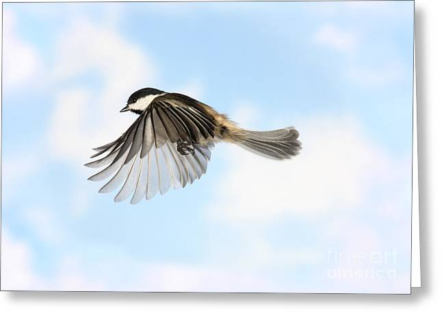 Black-capped Chickadee In Flight Greeting Card by Ted Kinsman