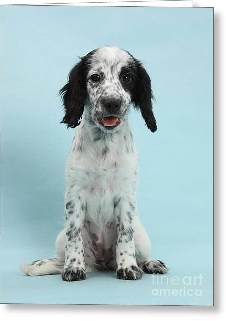 Border Collie X Cocker Spaniel Puppy Greeting Card by Mark Taylor