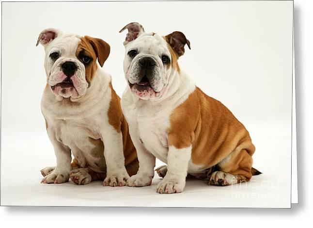 Bulldog Pups Greeting Card by Jane Burton
