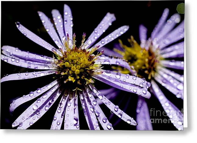 Bushy Aster With Dew Greeting Card by Thomas R Fletcher
