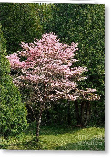 Cherry Blossoms Greeting Card by HD Connelly