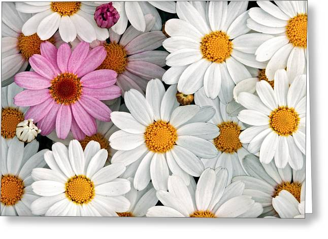 Daisy Maze Greeting Card by Donna Pagakis