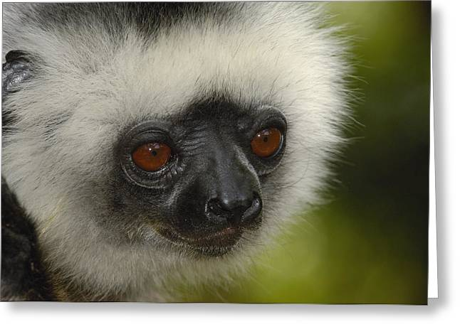 Diademed Sifaka Propithecus Diadema Greeting Card by Pete Oxford