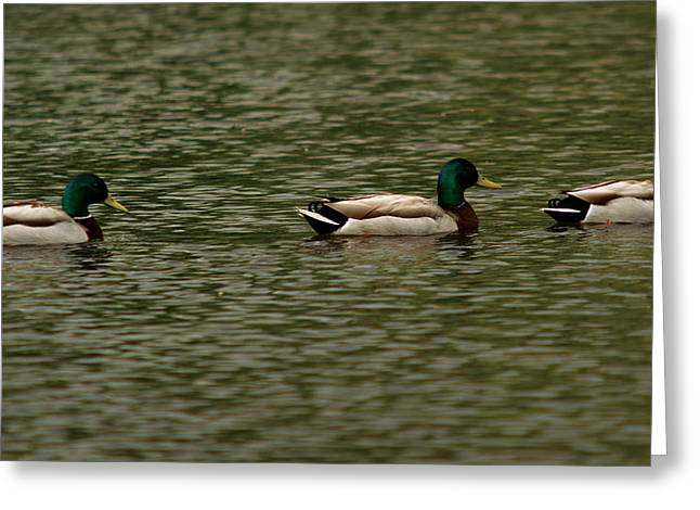 Greeting Card featuring the photograph 3 Ducks by Josef Pittner