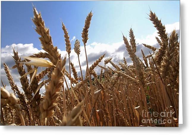 Field Of Wheat Greeting Card by Bernard Jaubert