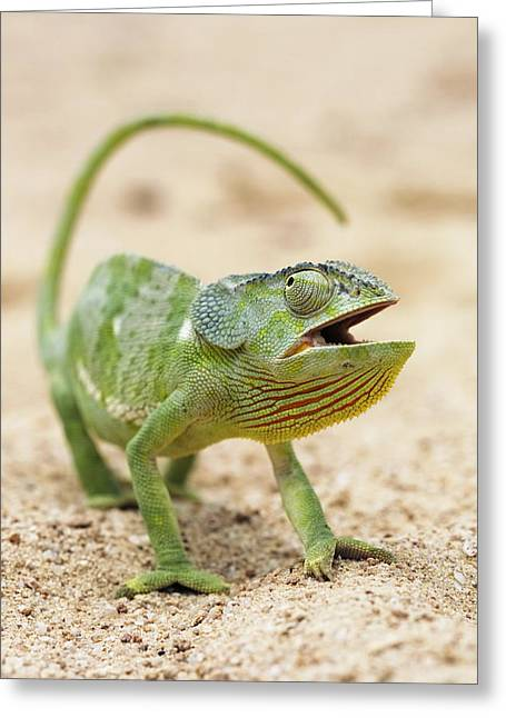 Flap-necked Chameleon Greeting Card by Georgette Douwma