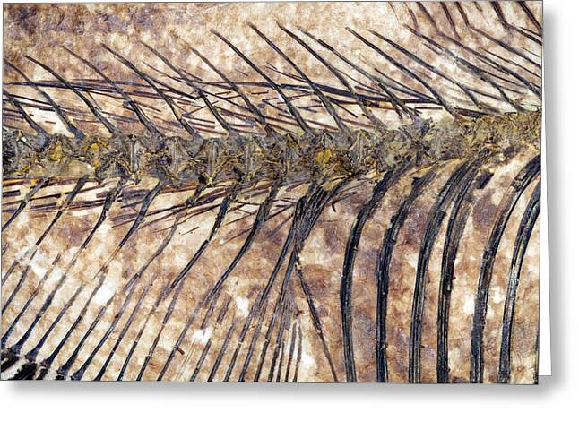 Fossilised Fish Greeting Card by Lawrence Lawry