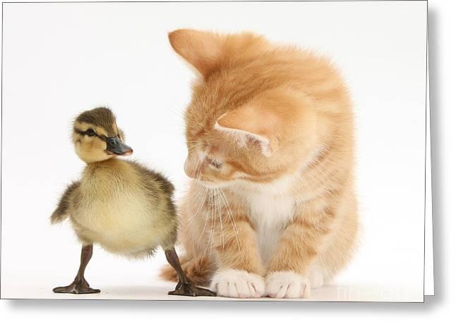 Ginger Kitten And Mallard Duckling Greeting Card