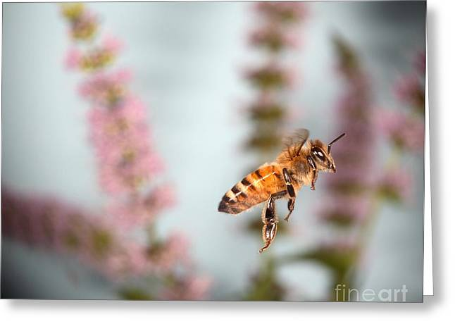 Honey Bee In Flight Greeting Card by Ted Kinsman