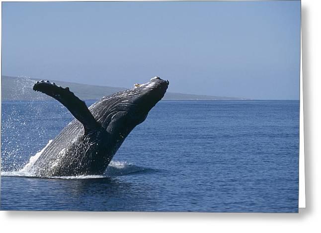 Humpback Whale Breaching Maui Hawaii Greeting Card by Flip Nicklin
