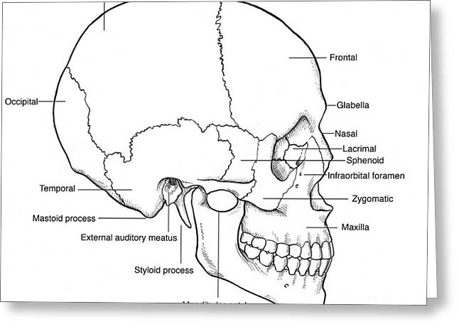 Illustration Of Human Skull Greeting Card by Science Source