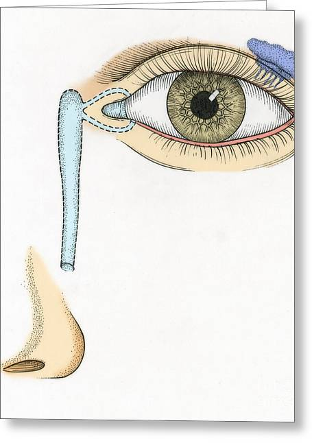 Illustration Of Tear Duct Greeting Card by Science Source