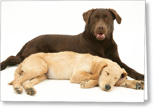 Labradoodle And Labrador Retriever Greeting Card by Jane Burton