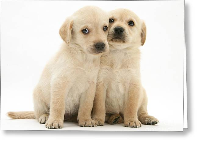Labrador Retriever Puppies Greeting Card by Jane Burton