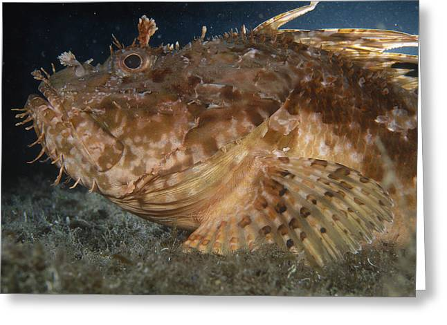 Large-scaled Scorpionfish Greeting Card by Alexis Rosenfeld