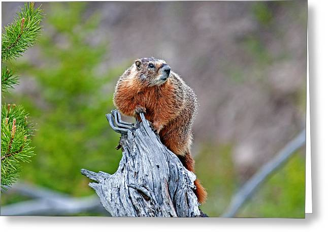 Marmot Greeting Card by Elijah Weber