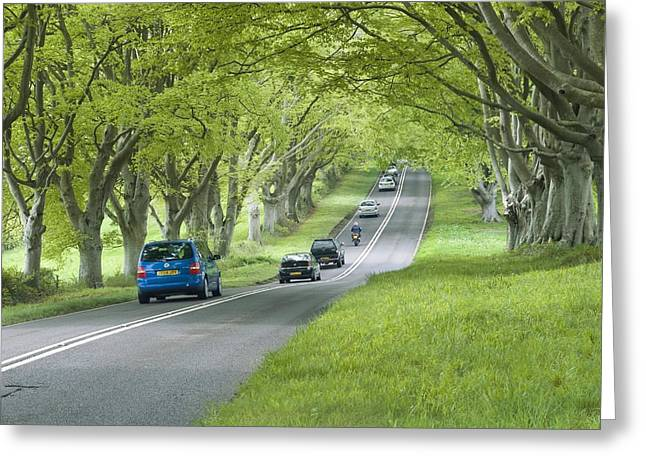 Mature Beech Trees (fagus Sylvatica) Greeting Card