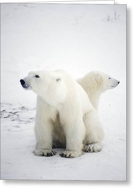 Polar Bear And Cub Greeting Card by Chris Martin-bahr
